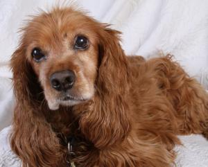 about_spaniels_image_1